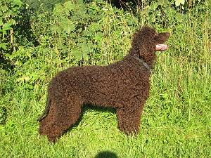 "Irish Water Spaniel ""Fellow"" (Bild: Sonja Neuhaus)"